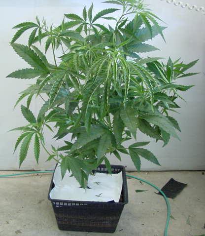 Cartoon Weed Plant